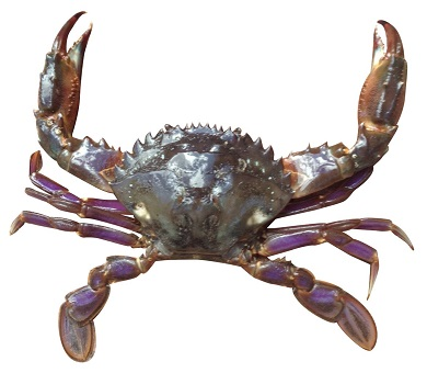 Keep watch for aquatic pests while crabbing