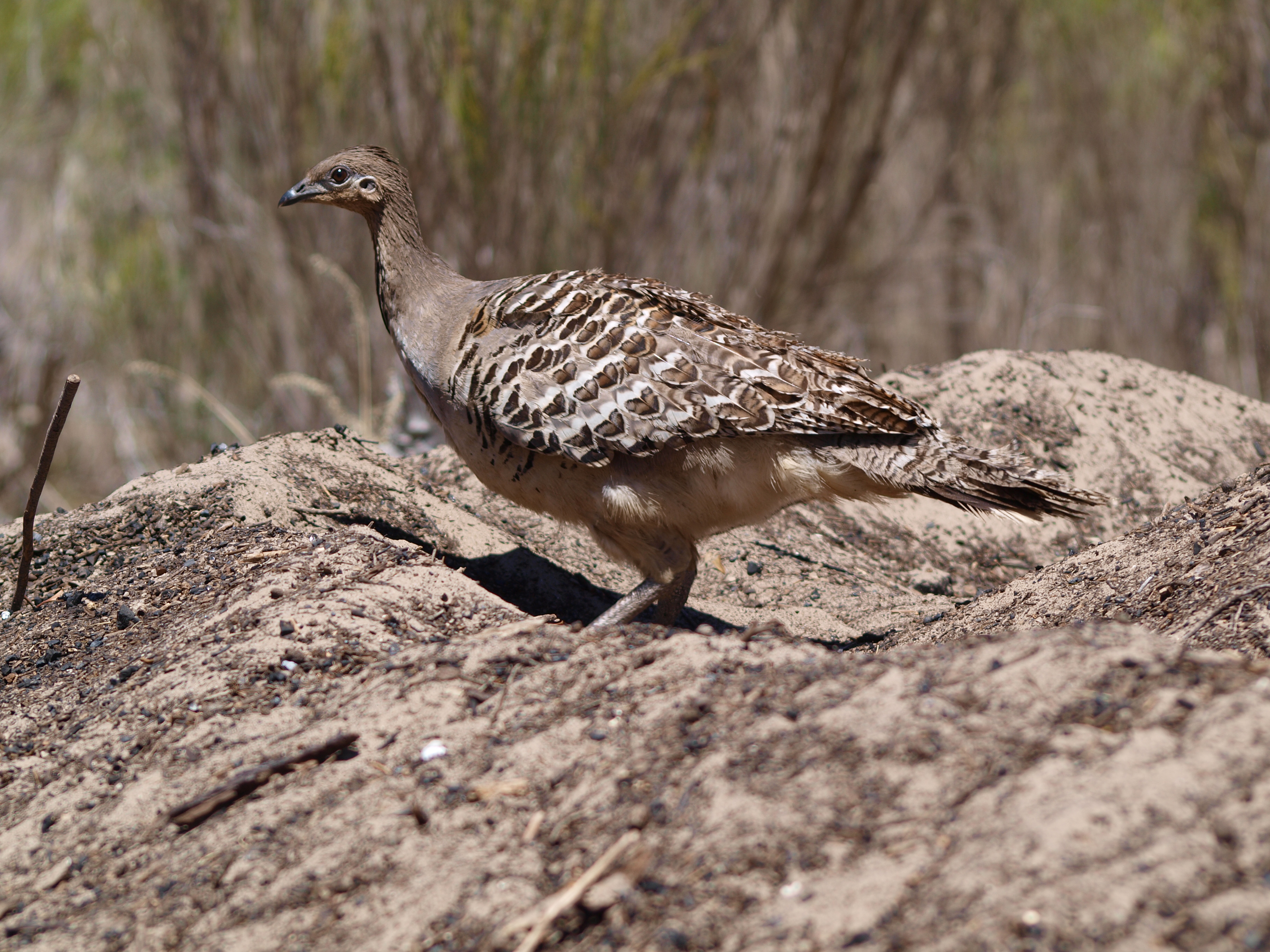Community call to find Malleefowl